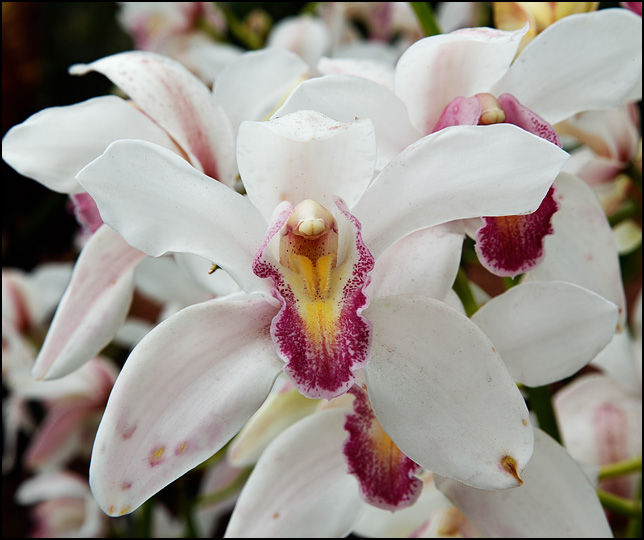 A white orchid with pink center in front of several other flowers