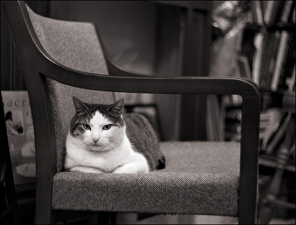 Sherlock, a fat bookstore cat lounging on a chair at Hyde Brothers Books in Fort Wayne, Indiana. He is giving me a dirty look.