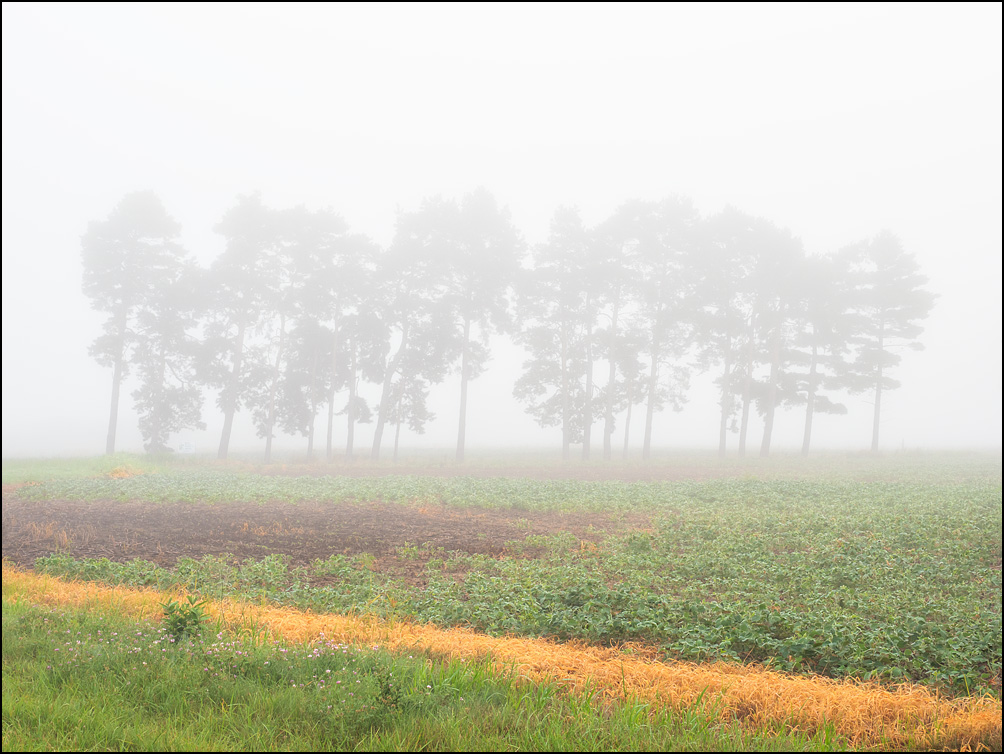 A soybean field on a foggy morning with a line of trees along the far edge of the field. Located on Winchester Road and Pleasant Center Road in rural Allen County, Indiana.