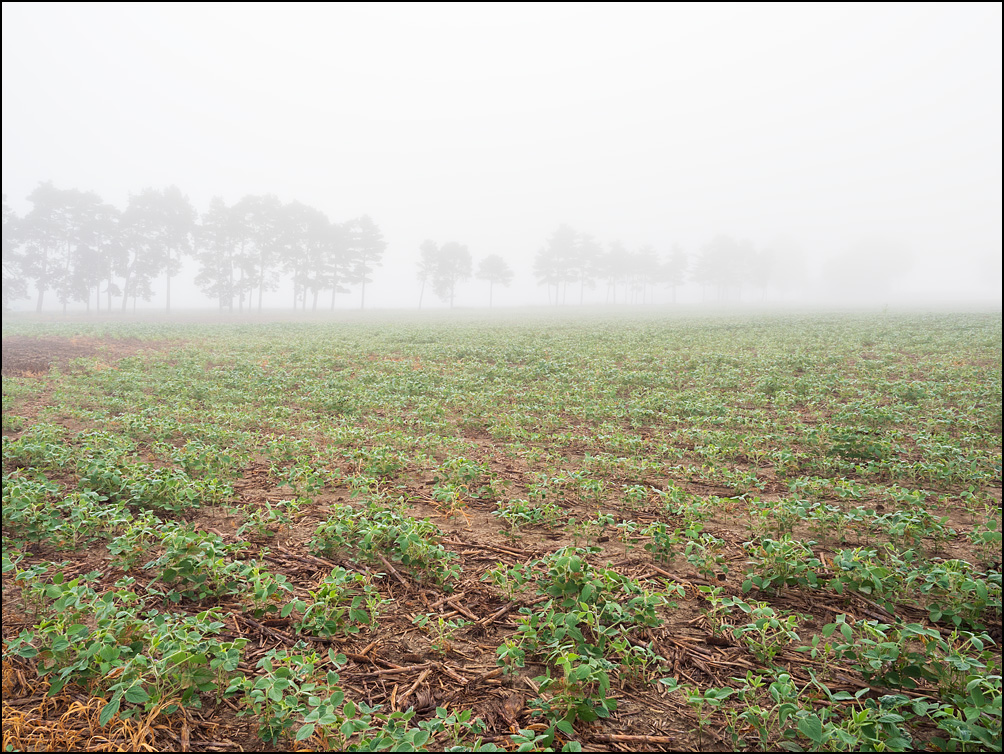 A soybean field on a foggy morning with a line of trees disappearing into the fog in the distance. Located on Winchester Road and Pleasant Center Road in rural Allen County, Indiana.