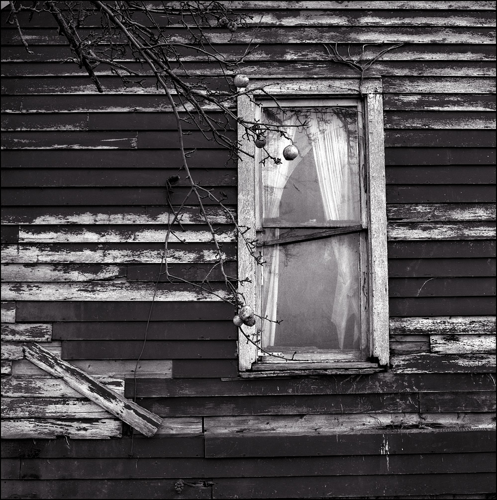 Apples hang from a tree in front of the window of an abandoned farmhouse in rural Allen County, Indiana.