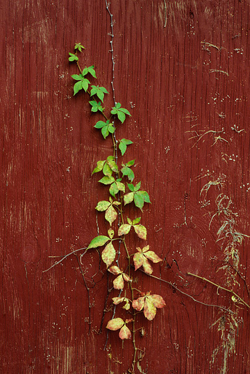 Vines growing up the side of a red barn.