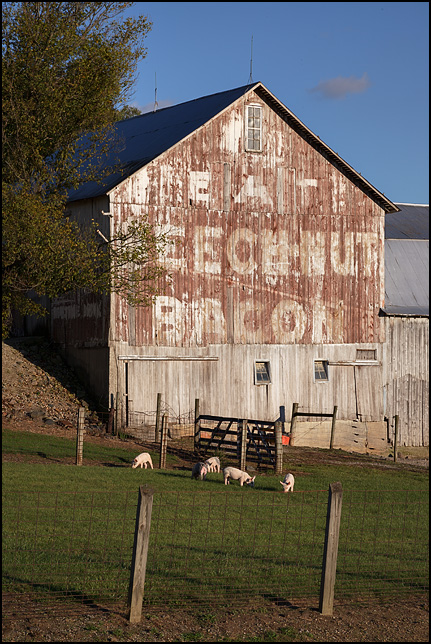 Eat Beech-Nut Bacon, an old advertisement painted on the side of a weathered old barn next to a barnyard full of pigs in rural Indiana.