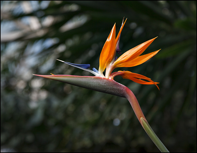 The flower of the Bird of Paradise plant.