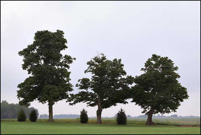 Three trees on the edge of Brooke Acres, a huge park-like property next to a house, surrounded by soybean fields, on Knouse Road in rural Allen County, Indiana. Photographed on a hazy morning.