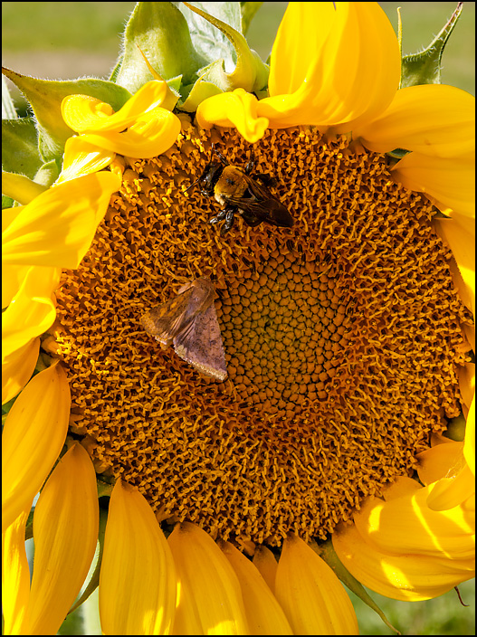 A fat furry bumblebee and a moth in the middle of a large sunflower.