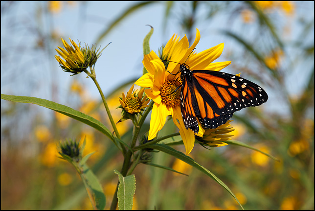 A monarch butterfly perched on a wild sunflower at Eagle Marsh, a restored wetland in Allen County, Indiana.