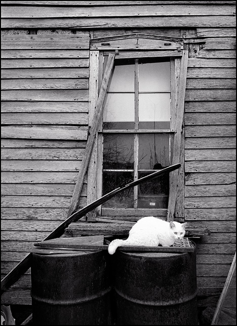 A white cat sitting on two rusty oil drums under a broken window at an old 19th century farmhouse in Allen County, Indiana. The window frame is falling off and the wood siding is weathered badly.