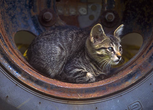 A cute tabby kitten sits inside an old rusty truck wheel.