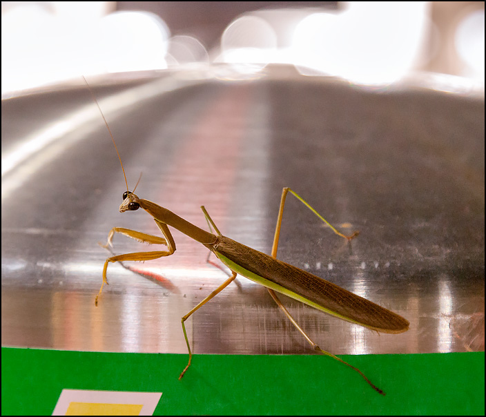 An olive green praying mantis standig on top of a gas station car vacuum at night in the small town of Churubusco, Indiana. The insect is looking directly at me with big black eyes.