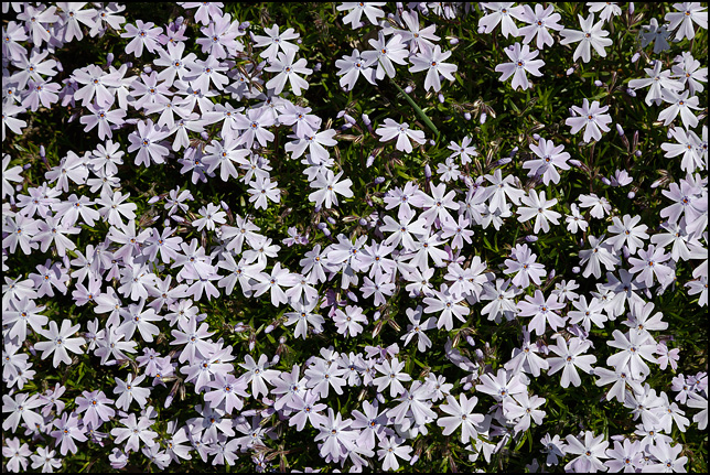 A bed of creeping phlox flowers that looks like a blanket of light purple spots on the green ground.