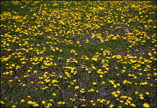 Yellow dandelion flowers and purple violets almost completely cover my backyard, giving the appearance of a vast field of flowers.