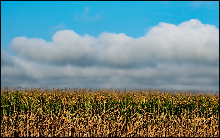 A corn field under a bright blue sky on Fahlsing Road in rural Allen County, Indiana