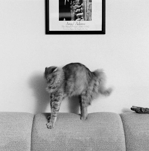 Fat long haired cat stretching his back on the sofa under an Ansel Adams poster.