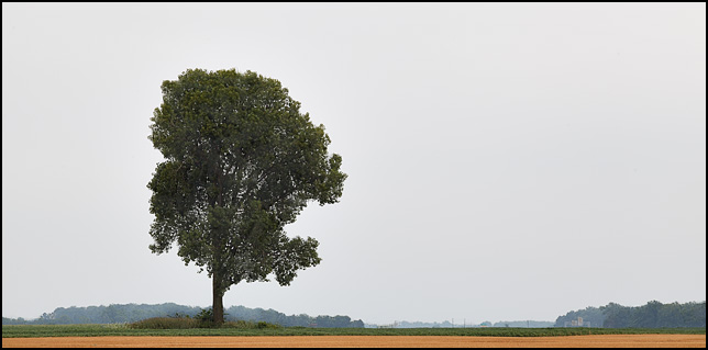 A lone tree stands in a green field behind a hayfield that has been harvested, leaving only the yellow stubble.