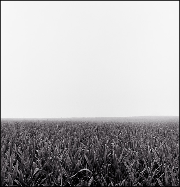 A cornfield on a foggy morning in rural Indiana.