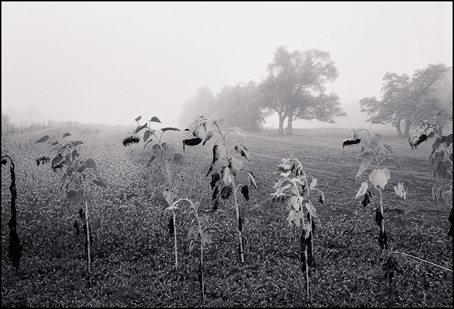 A row of sunflowers on the edge of a foggy field in rural Indiana.
