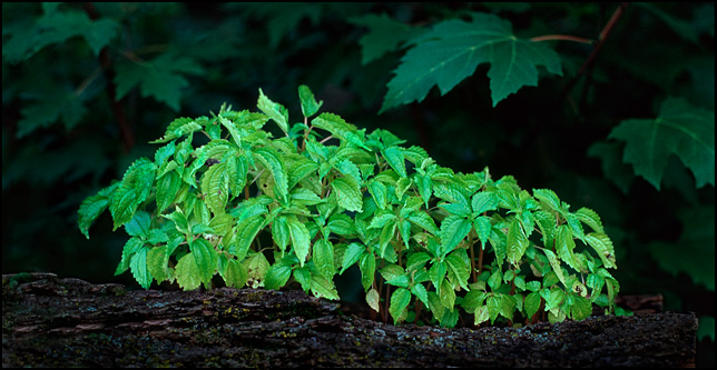 A clump of little green plants growing on the side of a fallen tree.