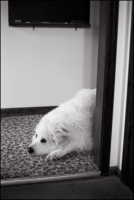 A sad looking Great Pyrenees dog lies on the floor with her head sticking out of the doorway. Big white long haired dog with sad eyes.