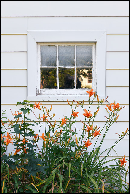 Orange tiger lilies growing under the window on the side of my garage.