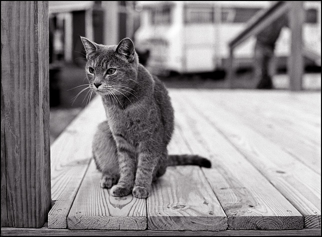 A gray tabby cat sitting on a wooden patio with an intent look in her eyes.