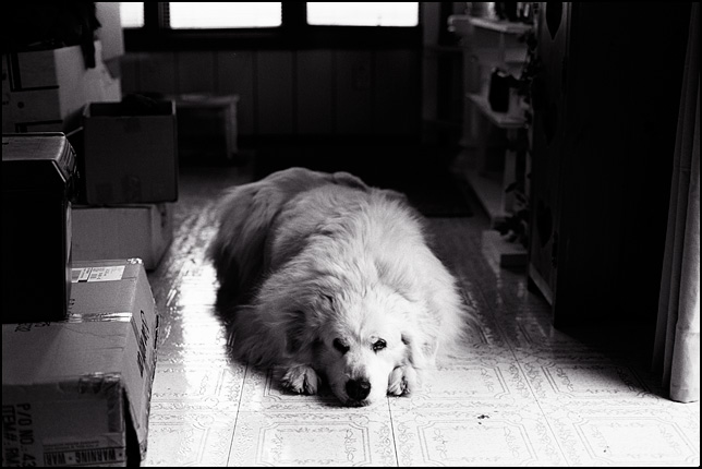 A large white Great Pyrenees Dog with her head on the floor between her front legs.