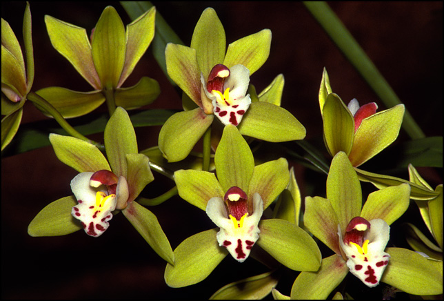 A bunch of green orchid flowers that look like faces.