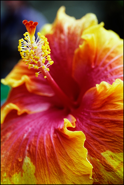 Closeup view of a red and yellow hibiscus flower.