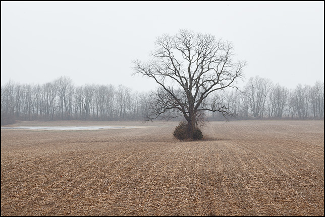 A single tree stands in the middle of a harvested cornfield in rural Indiana.