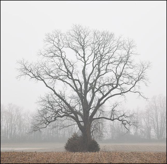 A lone tree surrounded by evergreen bushes in the middle of a rural Indiana cornfield in winter.