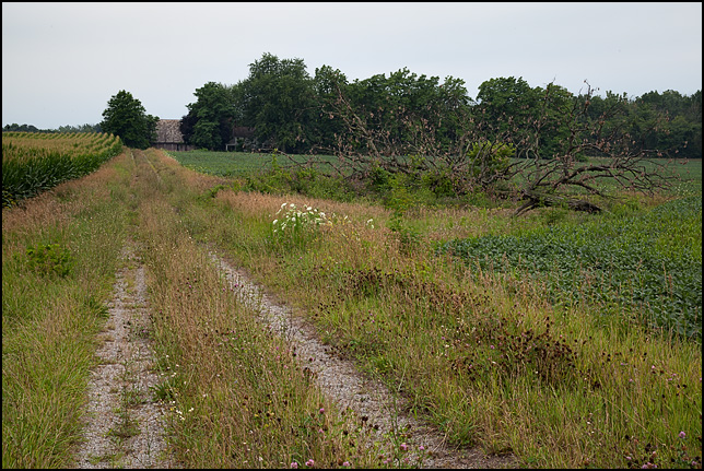 A long overgrown farm driveway between a cornfield and a soybean field in rural Allen County, Indiana. A fallen tree lay next to the driveway.