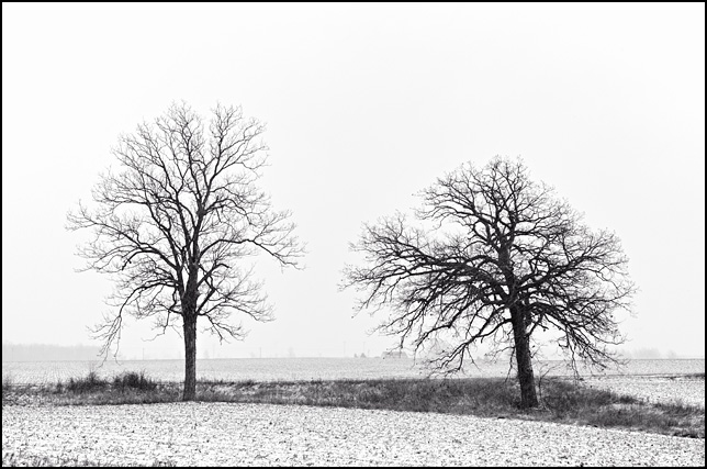 Two trees stand in the middle of a foggy cornfield during an Indiana snowstorm.