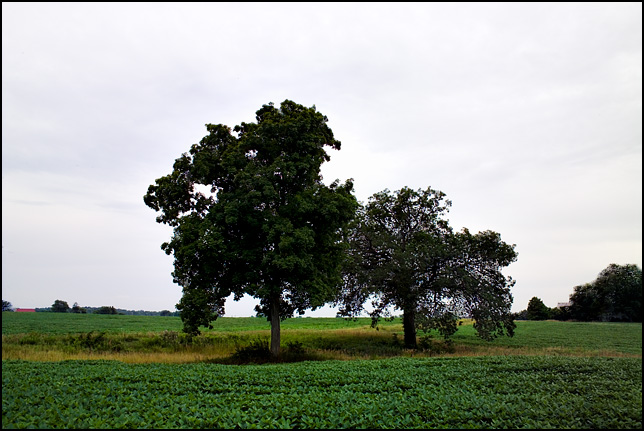 Two trees stand in the middle of a green landscape of soybeans and tall grass on a farm in rural Allen County, Indiana.