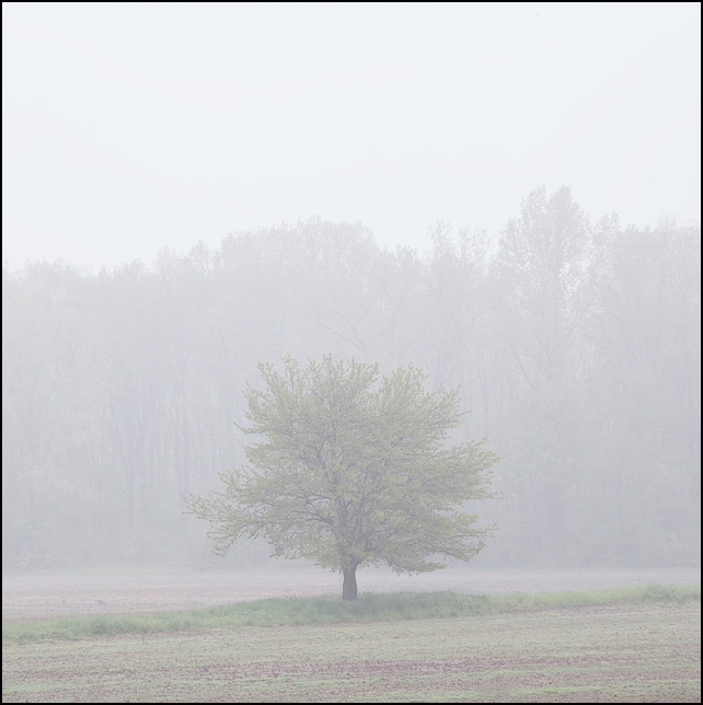 A lone tree stands in the middle of a field on a foggy early spring morning on Indianapolis Road in rural southwest Allen County, Indiana.