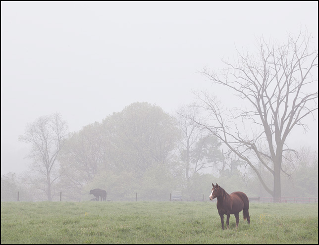A horse stands next to a tree in a green pasture on a foggy morning in rural southwest Allen County, Indiana.