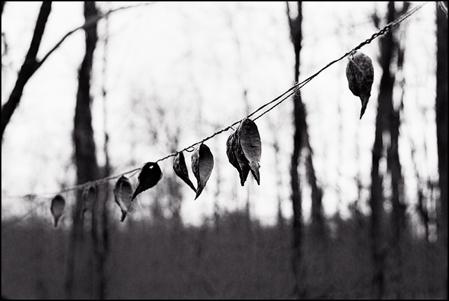 A string of milkweed seed pods tied between two trees in a forest.