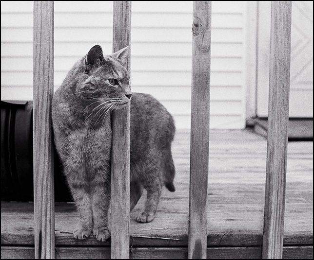 A striped cat looks out from between the bars of a the rail around a wooden patio deck.