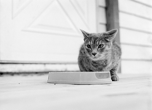 A mean looking grey tabby cat hunched over her food bowl.