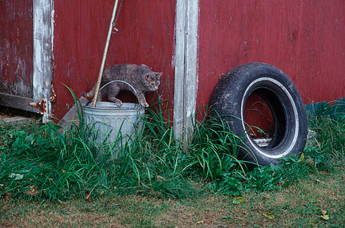 Grandpa's little gray cat hunting mice around his old red barn.