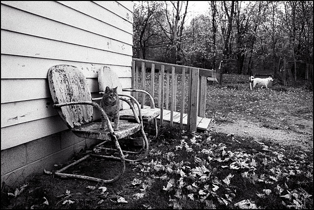 A little grey cat stands on an old rusty metal motel chair while a white German Shepherd Dog runs in the background. The ground is covered in fallen leaves.