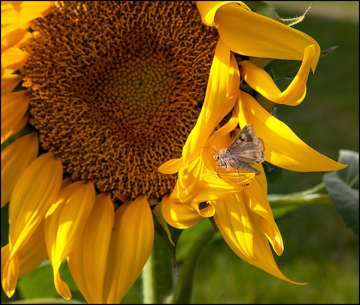 A brown moth standing on one of the yellow petals of a sunflower.