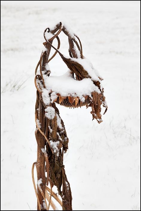 A droopy dead brown sunflower covered in snow. The flower is pointing down at the snowy ground.