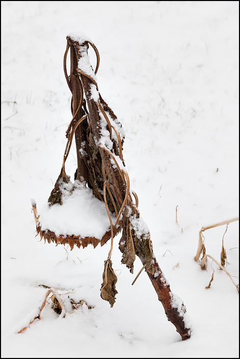 A droopy dead brown sunflower pointing down at the snow covered ground in winter.