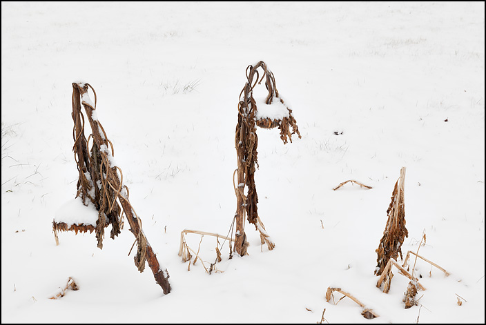 Three dead sunflowers growing in the snow. One has fallen over and is almost entirely buried in snow. The large flower one of the others is pointing down to the ground.