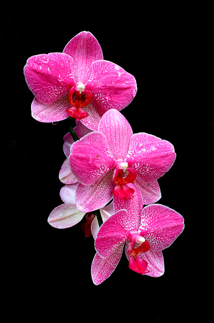 Three pink and white orchid flowers.