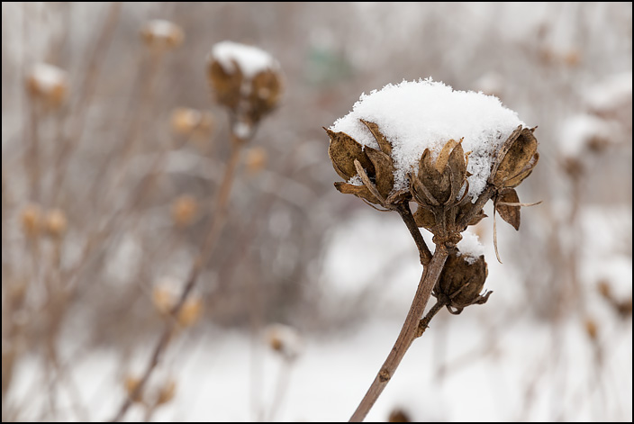 Snow covers the dead flowers on a Rose of Sharon bush in a snowstorm.