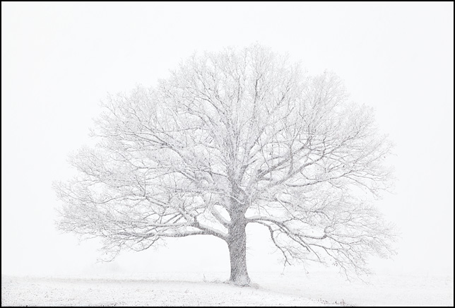 A beautiful big round tree on a low hill in the middle of a field, veiled in blowing snow during a heavy snowstorm. The tree is at the University of Saint Francis in Fort Wayne, Indiana.