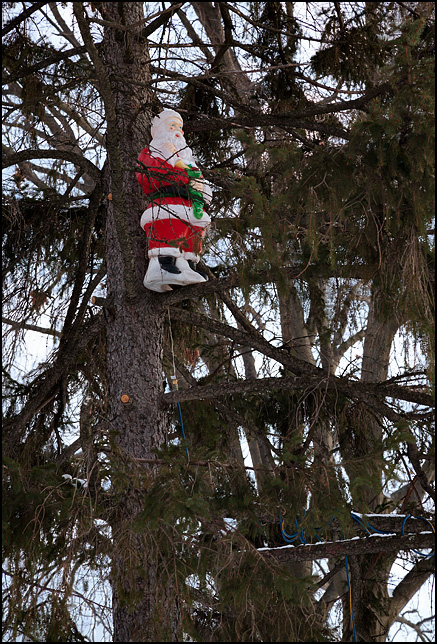 A three foot tall plastic Santa Claus holiday decoration stands on a branch high up in a pine tree on the south side of Fort Wayne, Indiana.
