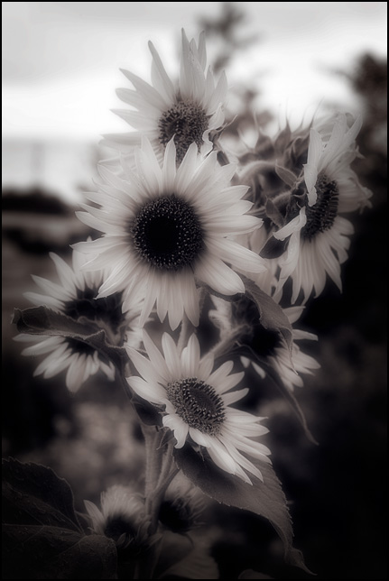 Soft focus photograph of several small wild sunflowers on a single plant.