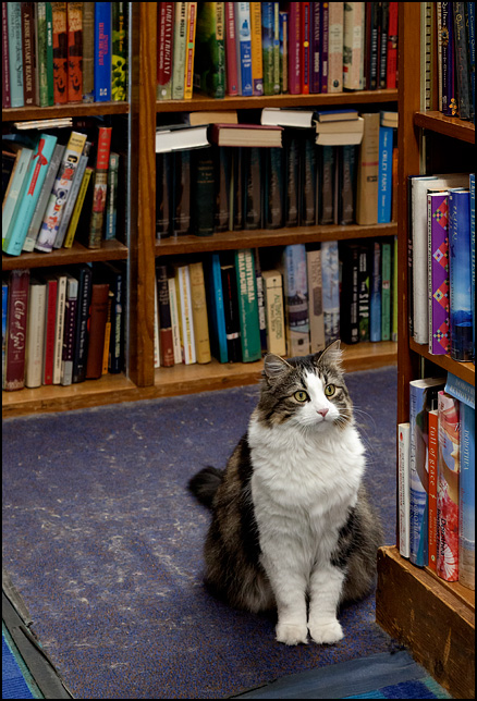 A longhaired bookstore cat sits by the stacks stalking a fly at Hyde Brothers Books in Fort Wayne, Indiana.